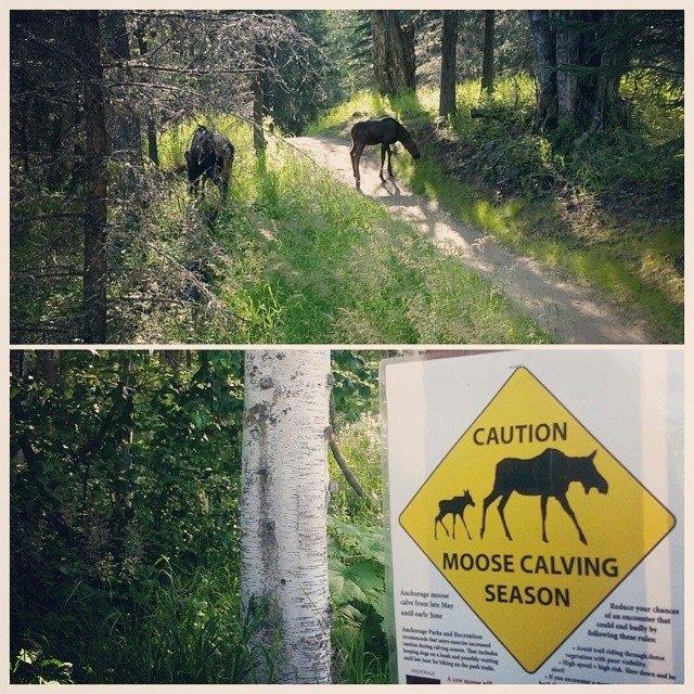 moose is loose